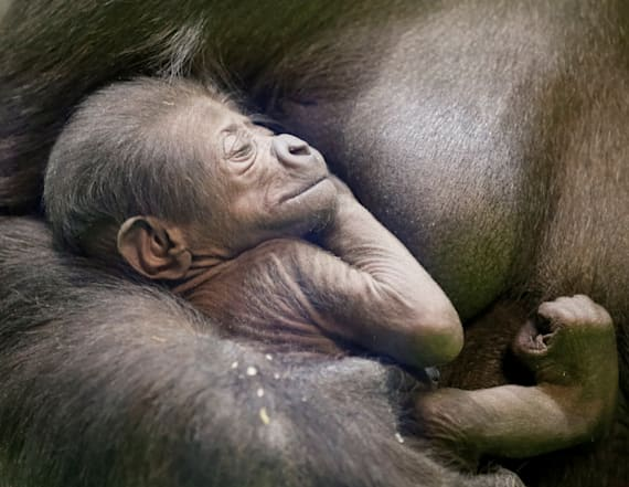 Moscow zoo welcomes rare baby lowland gorilla