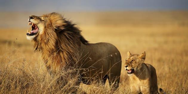 Image prétexte de lions dans la Savane, en Afrique de l'Est.