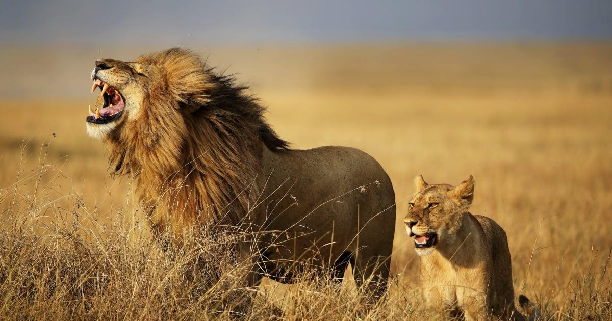 l 39 homme d vor par des lions en afrique du sud est suspect d 39 tre un braconnier le huffington. Black Bedroom Furniture Sets. Home Design Ideas