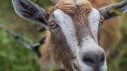 Une petite ville américaine élit une chèvre comme nouveau