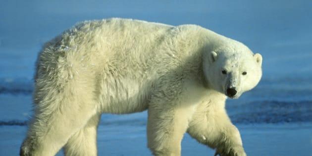 Polar bear (Ursus maritimus), western Hudson bay, Arctic Canada.