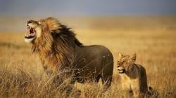 Un homme suspecté d'être braconnier, dévoré par des lions en Afrique du