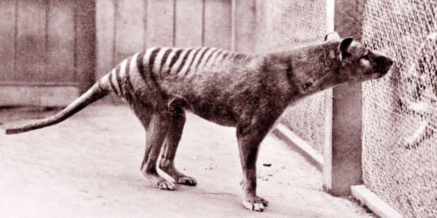 The now-extinct Tasmanian Tiger.