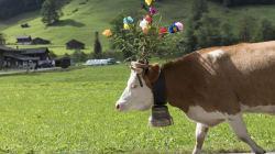 Ils n'enlèveront pas les cloches des vaches pour faire plaisir aux