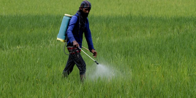 A village living farmer applies fertilizers into his agricultural paddy field outskirts of  Bhubaneswar.