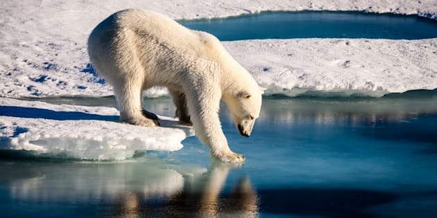 Un ours polaire sur l'Arctique.