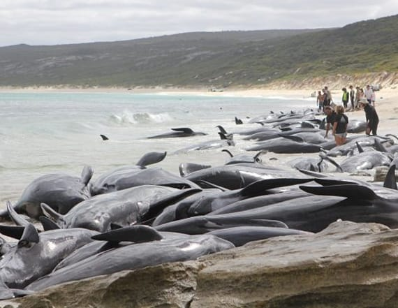 Over 140 whales die after mass stranding