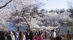 Cherry Blossom Madness Hits Toronto And People Are Losing