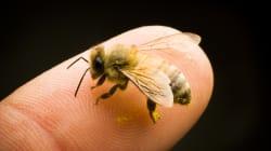 Contre le déclin des abeilles en France, les chercheurs ont peut-être trouvé une