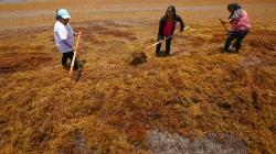 Surgen proyectos para retirar sargazo del litoral de Quintana