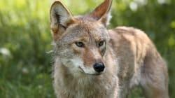 Trois enfants blessés légèrement par des coyotes à