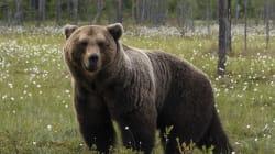 Bacon et beignes bientôt réautorisés pour chasser l'ours en