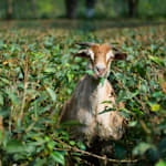 Pregnant Goat Gang Raped In Haryana Dies, Eight Men