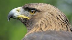 Por primera vez nace en México águila real por inseminación
