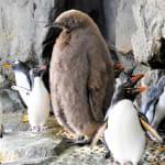 大きすぎるペンギンのひなが話題「人、入ってません?」 仙台市の水族館で話題