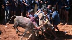 36 Injured In Jallikattu Held In Tamil Nadu's Madurai District After 3 Years And Massive