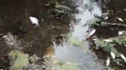 Hécatombe de poissons dans une rivière d'Ille-et-Vilaine après un incident dans une