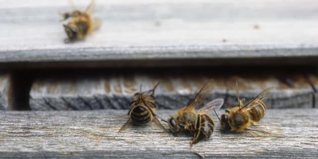 Le Canada va interdire ces deux types de pesticides nocifs pour les insectes aquatiques et les abeilles.