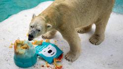 Le premier ours polaire né sous les tropiques a été