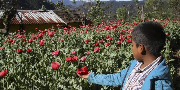En la parte alta del estado por filo de caballo los pobladores siguen sembrando amapola, actividad que ha provocado que muchos hayan sido detenidos al tener que ayudar en la economía familiar.