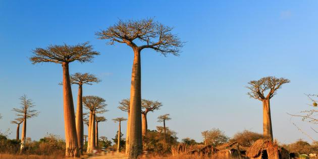 Des baobabs à Madagascar.