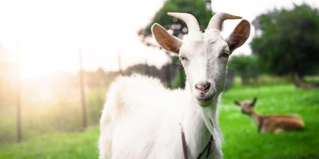 Maltraitance animale: Gap, Zara, H&M ou Topshop n'utiliseront plus de laine mohair après les révélations de Peta
