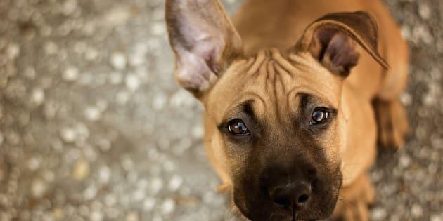 Montréal va suspendre le règlement sur les pitbulls
