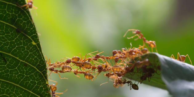 Face à la résistance aux antibiotiques, certaines fourmis seraient d'une aide précieuse