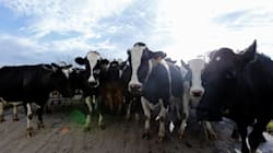 Businessman Plans To Fly 4,000 Cows To Qatar To Boost Country's Milk