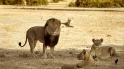 Xanda, le petit du lion Cecil, abattu à son tour par des