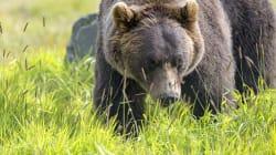 Des oursons orphelins du Montana éliront domicile au