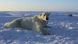 Trop d'ours polaires dans certaines parties du