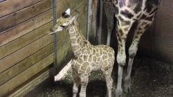 Un girafon est né au Parc Safari et les images sont