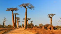 Les plus vieux baobabs d'Afrique disparaissent et c'est