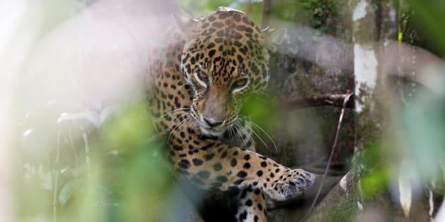 Una jaguar es vista en un árbol de la selva amazónica en Brasil. REUTERS/Bruno Kelly