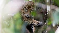 Cuando su madre quiso matarla, esta bebé jaguar fue salvada por veterinarios