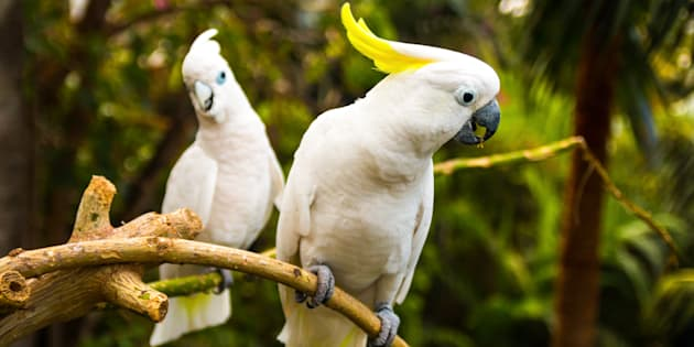 Cockatoos are causing troubles for the NBN.