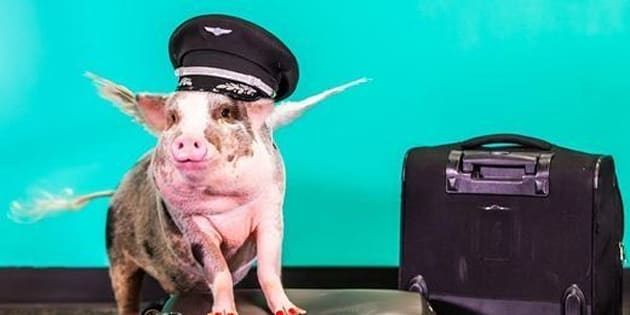 Lilou, atherapy pig, is helping de-stress visitors to San Francisco International Airport.