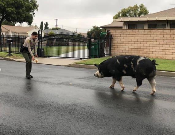 Deputies use Doritos to catch wayward pig