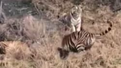 Tiger Mauls To Death Man Who Climbed Fence To Avoid Buying A