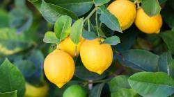 Esta es la historia viral de un limón que rodaba colina abajo sin