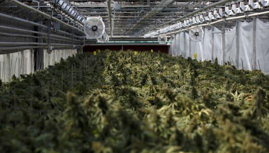 Les fleurs de cannabis remplacent les orchidées de