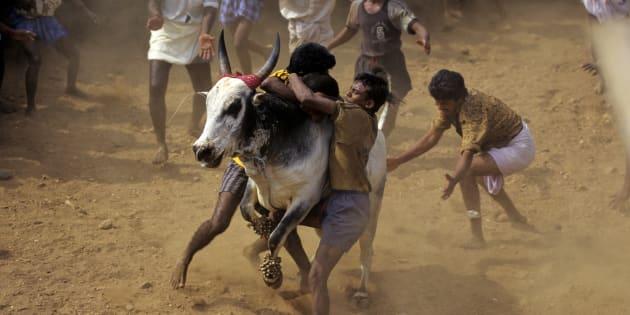 Jallikattu Row: Tamil Nadu Village Holds Festival In Defiance Of Supreme Court Ban