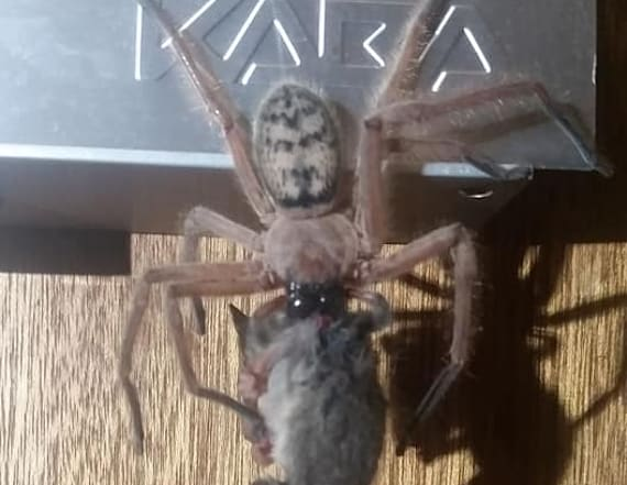 Horrifying images show large spider eating a possum