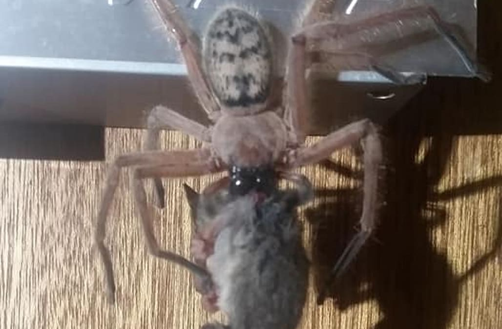 Terrifying images show enormous spider eating a possum in Australia