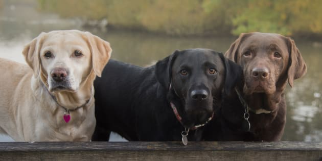 The Labrador Retriever is the most popular dog in NSW.