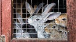 Cette association interpelle des marques de luxe sur l'élevage de lapins en