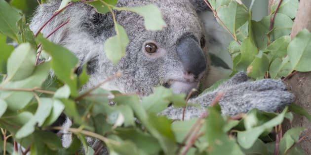 Koalas hanging in a tree at Wild Life Sydney Zoo on December 21, 2017 in Sydney, Australia.