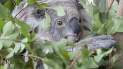 Los australianos, indignados por el hallazgo de un koala atornillado a un