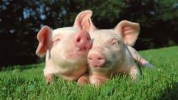 I maiali potrebbero essere i donatori di organi del futuro grazie a una modifica del